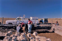 Doc McNeal, vaccinating and examining the Natani's flock near Table Mesa, NM in 1992.