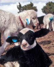 New crop of Navajo-Churro lambs at Lena Benally's home near Jeddito, Arizona in 1993.