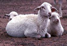 Adaptable Navajo-Churro ewes and their twin lambs near Ganado, AZ in 1986.