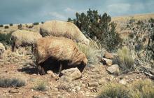 Navajo-Churro and Rambouillet sheep grazing on spring range near Navajo Mountain, 1982.