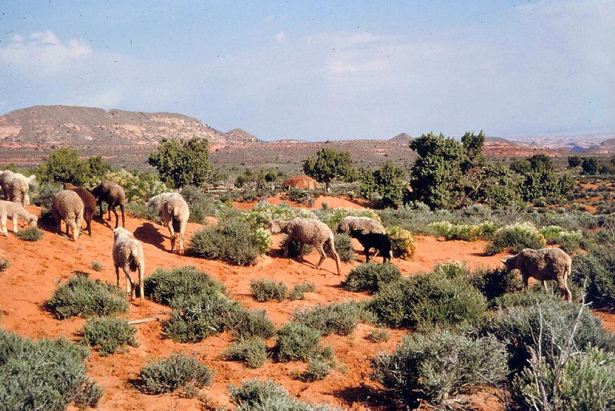 1X1 - 1980 - flock grazing near Inscript