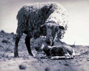 A ewe with her newborn lamb near Montezuma Creek, UT ca 1931.