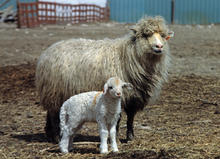 A Navajo Sheep Project, Navajo-Churro ewe and her lamb at the NSP's home site at the Rocking R Ranch in North Logan, UT back in 1986.