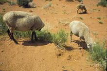 A flock of Navajo-Churro sheep seeking forage in Monument Valley, UT in 1977.