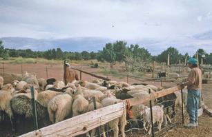 Lena Benally and her Navajo-Churro sheep flock near Jeddito, AZ in 1993.