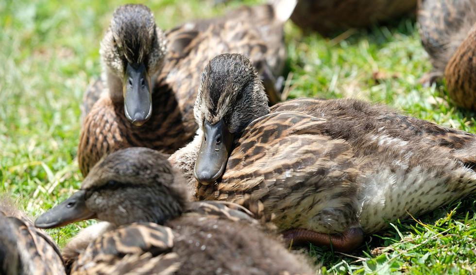 Ducks from Seebergsee