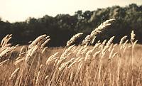 Wheat%20Field_edited.jpg