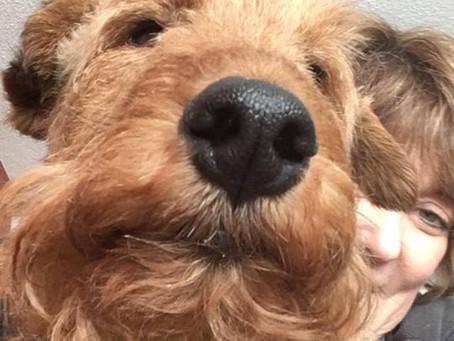 Elwood's Story - Welsh Terrier
