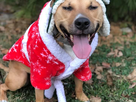 Riley's Story - Boxer/Lab/Pit Cross