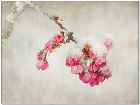 Sakura sous les dernières neiges