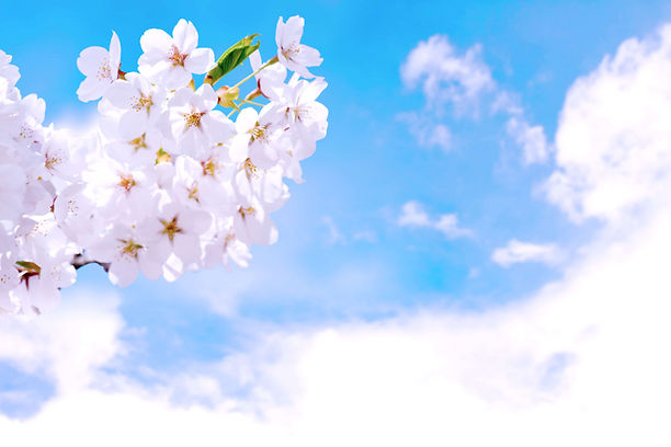Cherry Blossoms-min.jpg