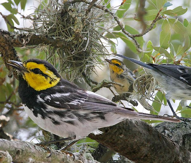 Golden-cheeked_Warbler_from_The_Crossley