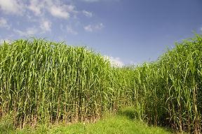 Biomassa voor brandstofproductie