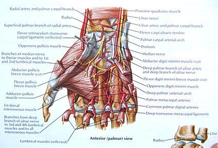 Thumb Anatomy