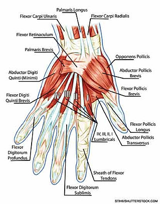 flexor tendon recovery | learn the anatomy, Muscles