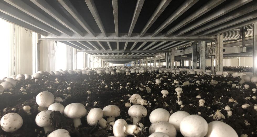 Premier Mushroom