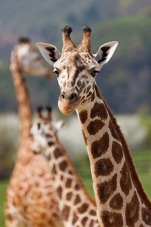 Canva - Close Up Photo of Giraffe during