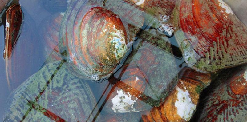 Freshwater shell at Xixi