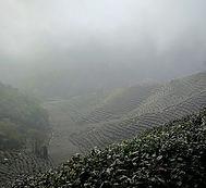 Longjing teaültetvények