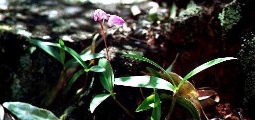 Dkingianum-plant.jpg