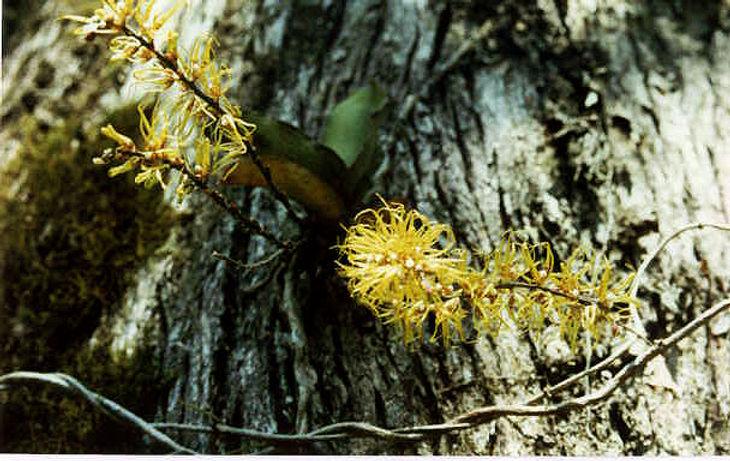 Rdivitiflora.jpg