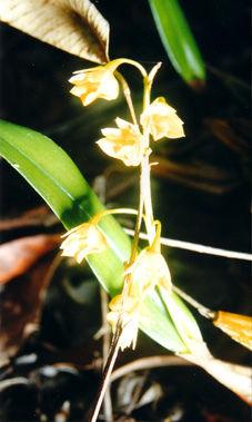 D.monophyllum2.jpg