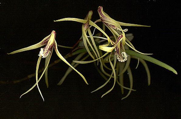 D.dolicophyllum.jpg