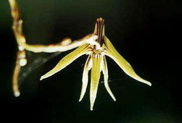 Dschoenina-flower4.jpg