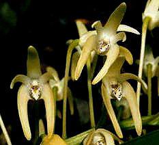 Dtarberi-flower.jpg