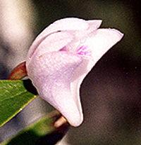 Dkingianum-alba-flower.jpg