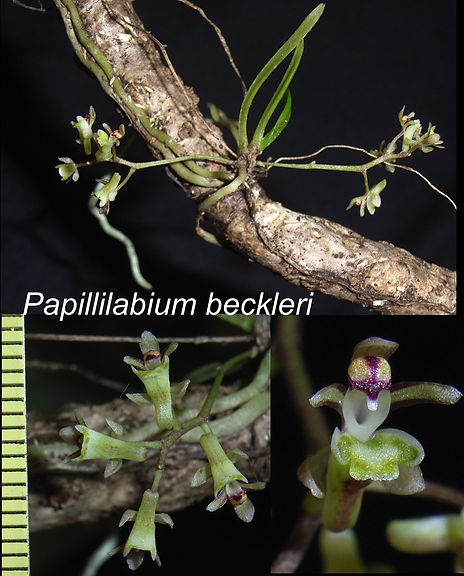 Pbeckleri-flower.jpg