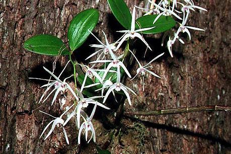 Daemulum-plant.jpg