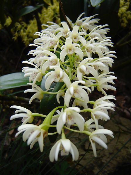 D.gracillimum flowers.jpg