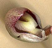 Coryb.barbarae(below).jpg