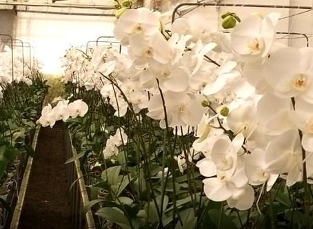 Phalaenopsis Branca - Corte