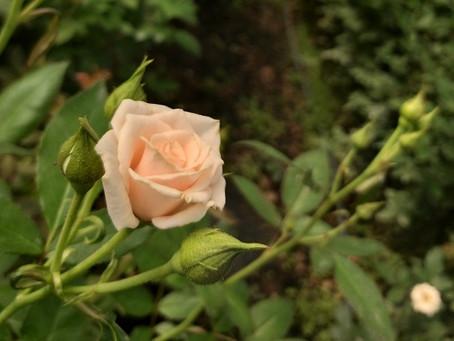 ROSA SPRAY MAJOLIKA (Rosa claro) e WHITE MAJOLIKA (Branca)