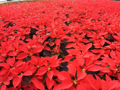 Poinsettia Vermelha P14