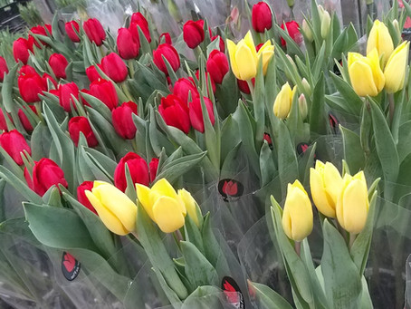 TULIPAS DE CORTE (Todas as cores)
