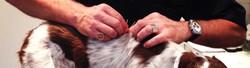 Acupuncture vétérinaire chien