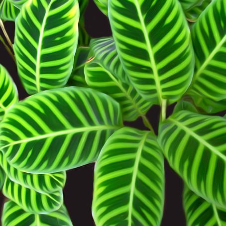 """Калатея - растение """"must have"""" в зеленой стене"""