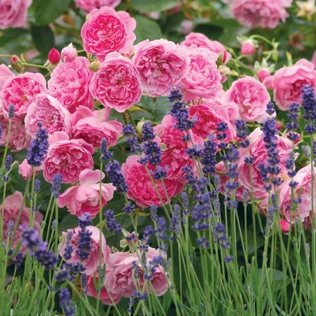 Какие розы Дэвида Остина выбрать для ландшафтного дизайна?