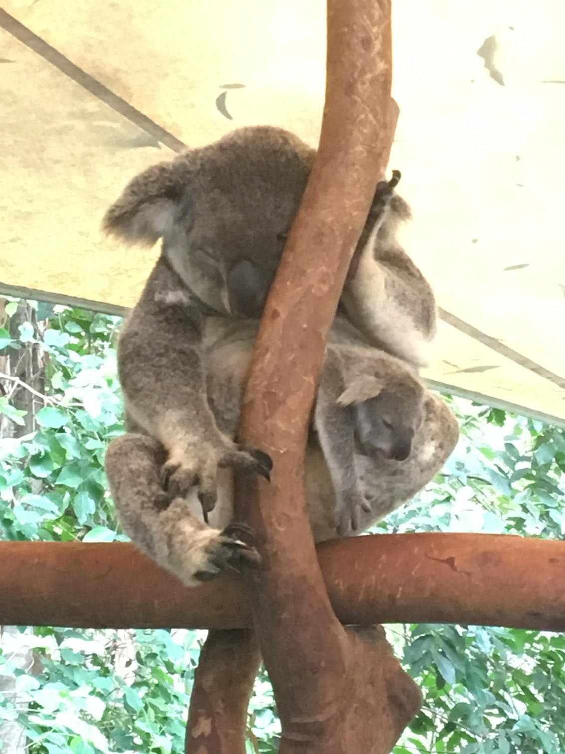 Koalas in Cairns
