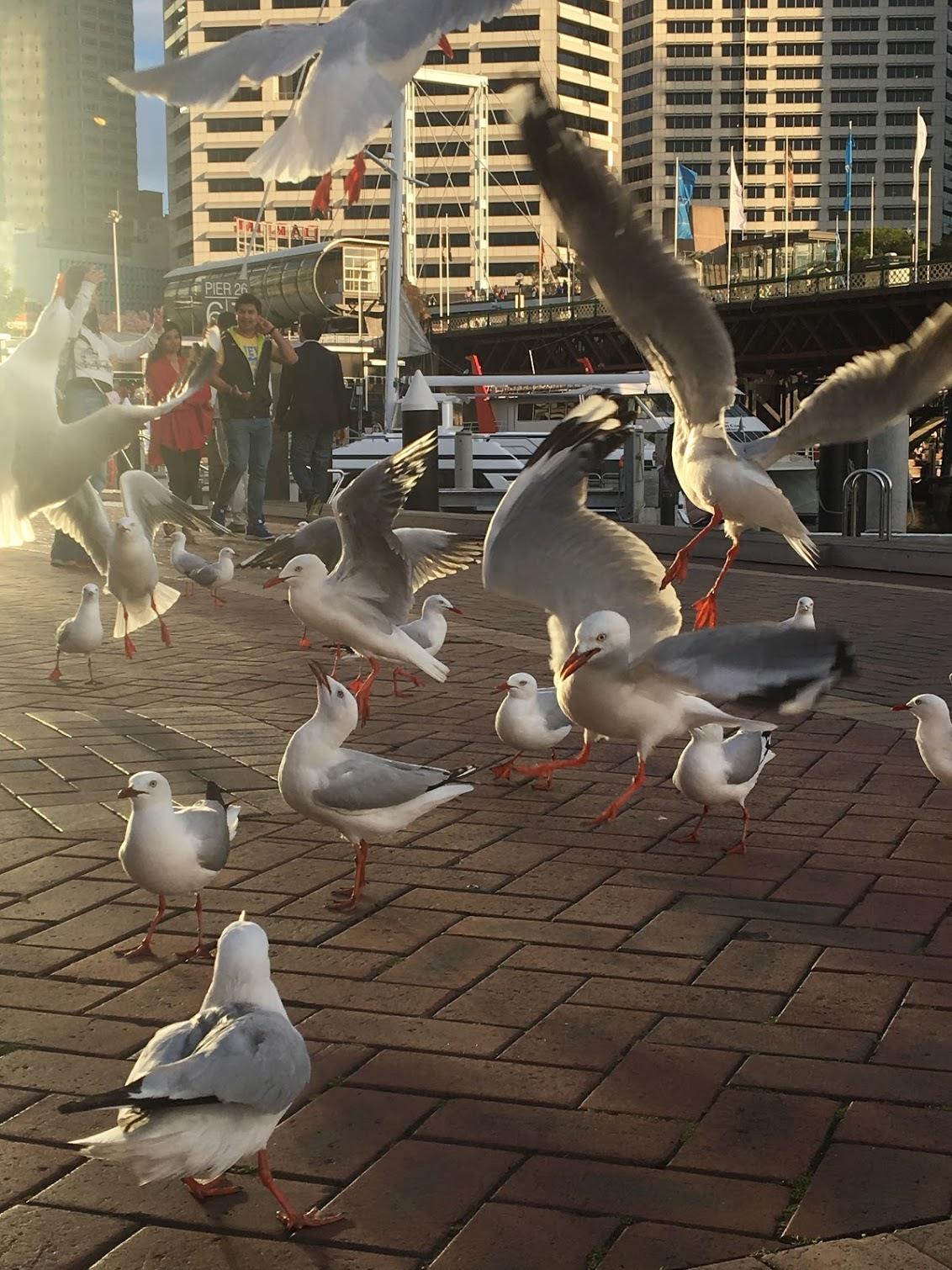 Seagulls in Sydney