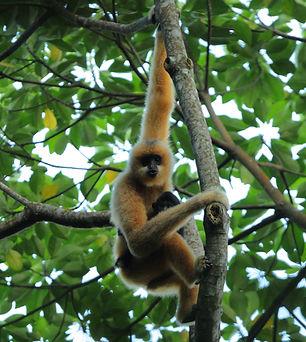 海南霸王岭保护区的海南长臂猿雌性-赵超.jpg