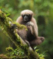 东白眉长臂猿 在树上的青苔中寻找虫子吃_副本.jpg