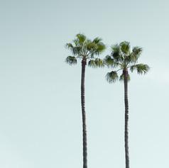 Los Angeles Palm Trees