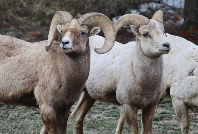 Rocky Mountain Rams