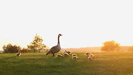 mother-goose-watching-over-goslings.jpg