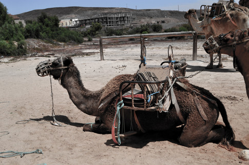 drained camel