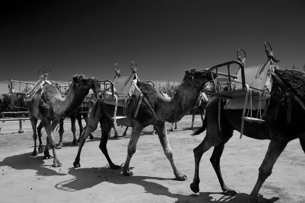 camels formation